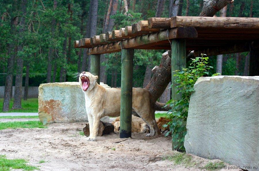 Львица в сафари-парке