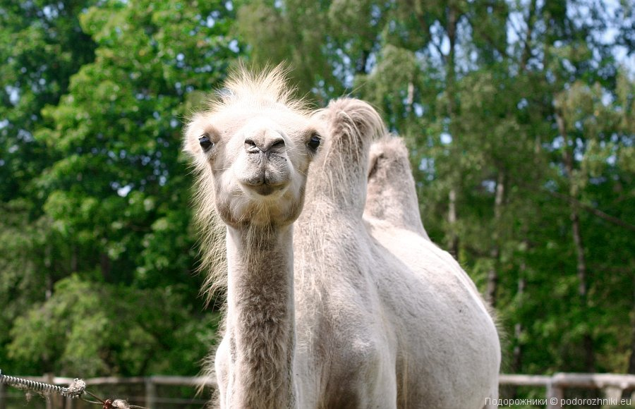 Верблюд-пушистик