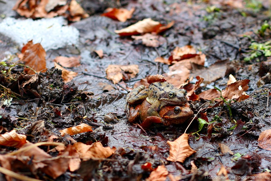 Спаривающиеся лягушки