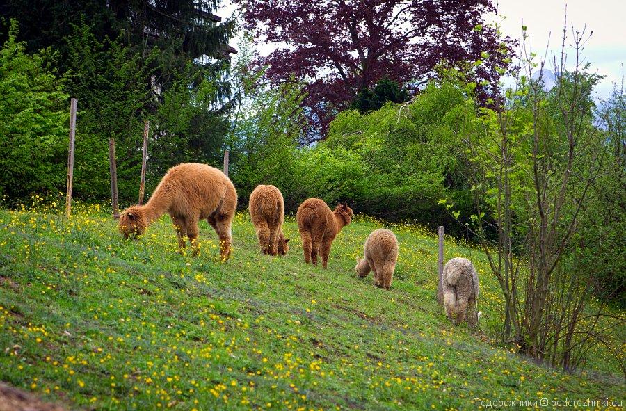 Ламы на пригорке