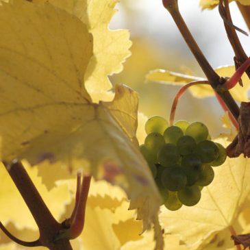 Виноградники Южной Моравии