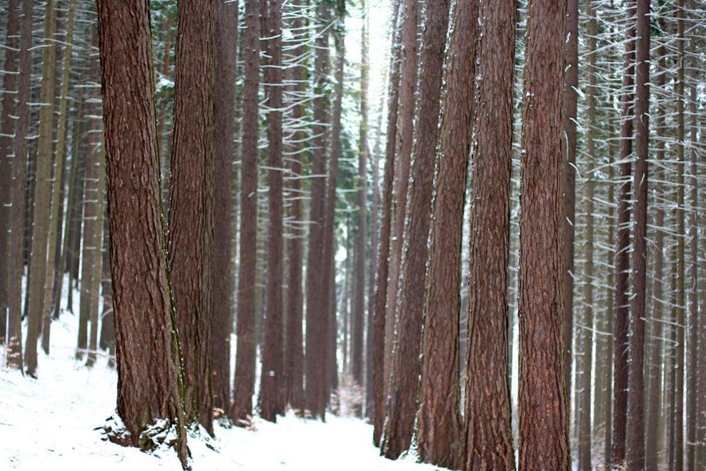 Безручова долина. Сосновый лес